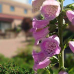 foxglove at St Margarets of Scotland Hospice